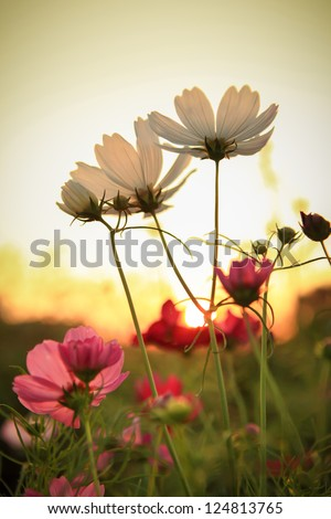 cosmos flowers in sunset - stock photo