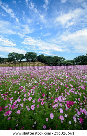 Cosmos flowers in Tenkaihou in Sasebo, Nagasaki, Japan. - stock photo