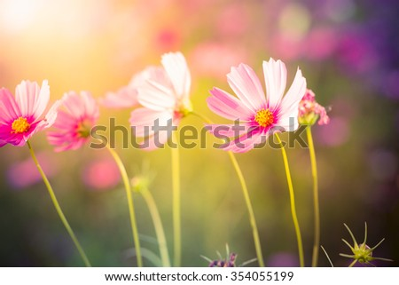 Cosmos flowers in the garden with green background in style soft focus. - stock photo