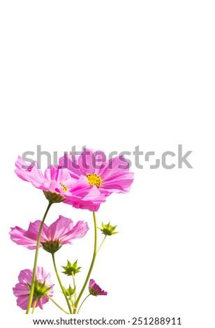 cosmos flowers isolated on white background - stock photo