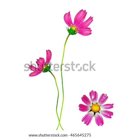 Cosmos flowers isolated on white background.