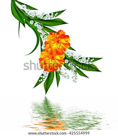Cosmos flowers isolated on white background. Beautiful spring flowers