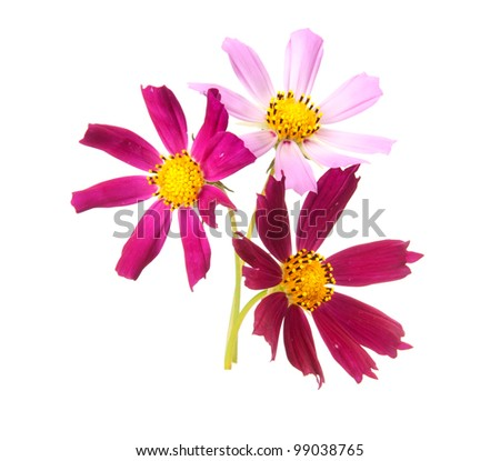 Cosmos, flowers isolted on white - stock photo