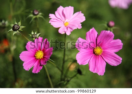 cosmos flowers (mexican aster) - stock photo