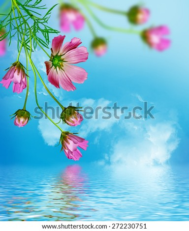 Cosmos flowers on a background of blue sky with clouds - stock photo