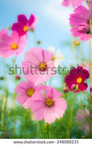 cosmos flowers on blue sky with day noon light. - stock photo