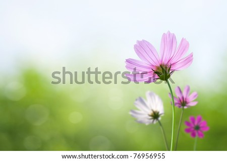 Cosmos flowers on spring background - stock photo
