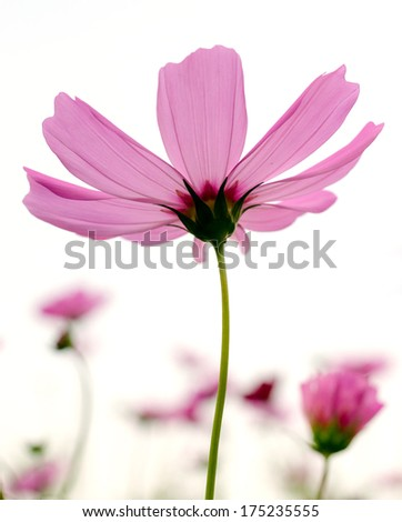 Cosmos flowers on white background