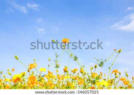Cosmos flowers, Orange and yellow cosmos flowers with blue sky.