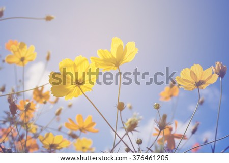 cosmos flowers retro filter effect - stock photo