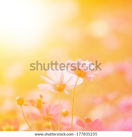 Cosmos flowers with beautiful sunlight - stock photo