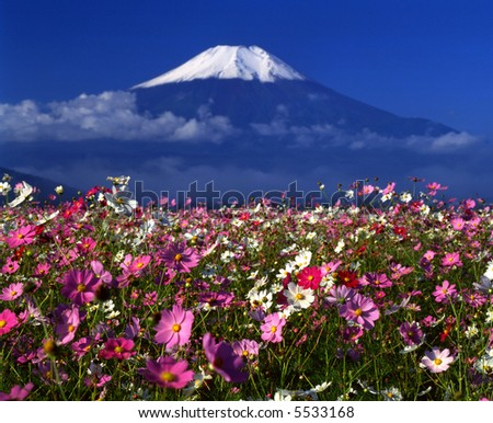 Cosmos meadow near Mount Fuji - stock photo