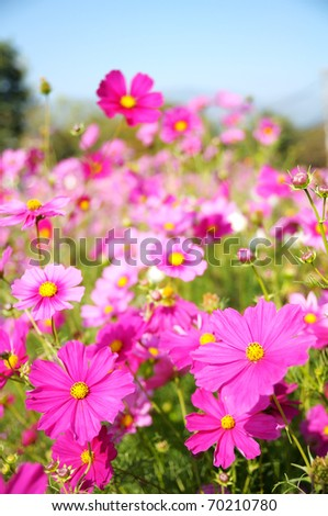 Cosmos pink flower Family Compositae in garden - stock photo