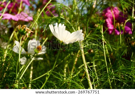 cosmos pink wall background flowers nature garden  garden blooming beautiful plant green autumn colorful - stock photo