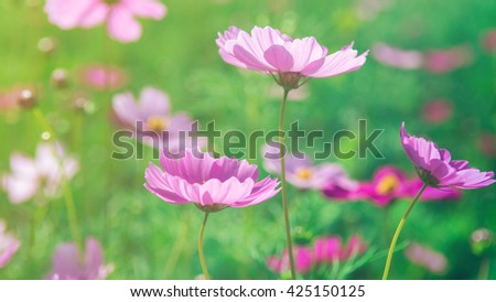 Cosmos pink with light a soft