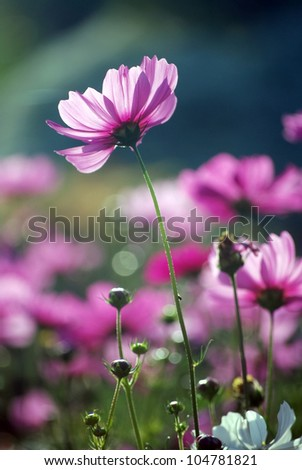 cosmos purple flowers in the morning sun. - stock photo