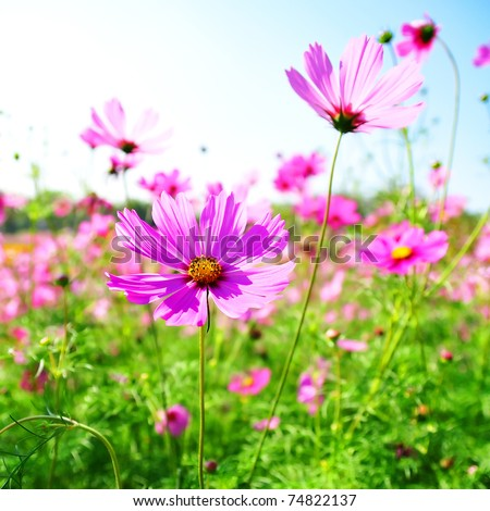 Cosmos vivid flower Family Compositae - stock photo