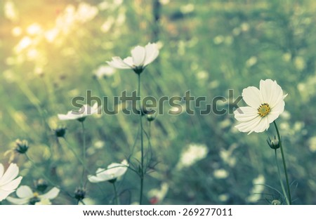 Cosmos white flower in the field. - stock photo