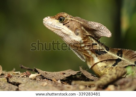 Costa Rican Common lizzard close up with green background