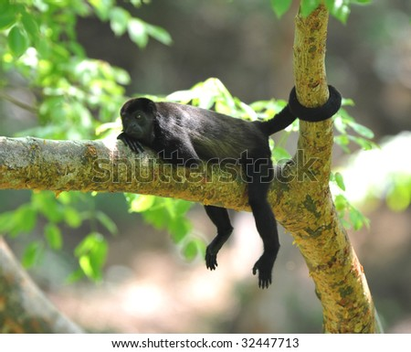 costa rican howler monkey with tail wrapped around tree trunk, guanacaste, costa rica, latin america, black monkey mono negra resting relaxing on tree branch in tropical jungle - stock photo