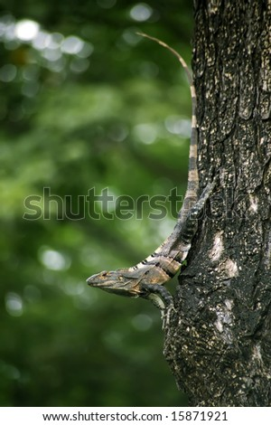 Costa Rican iguana resting on a tree in the jungle