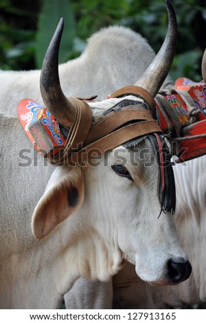 Costa Rican Ox towing a traditional coffee cart - stock photo
