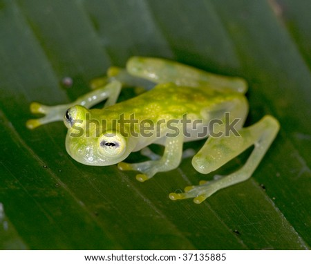 costa rican reticulated glass frog on green leaf, beautiful endangered fragile amphibian in lush tropical rainforest jungle setting, corcovado national park, central america