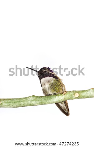 Costa's hummingbird on the branch isolated over white surface.