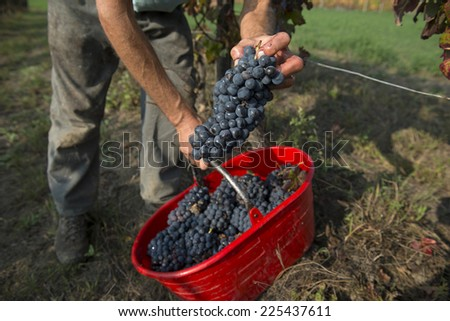 COSTA VESCOVATO ITALY-OCTOBER 02, 2014: grape harvest of Barbera, red italian wine, on the vineyards of the community farm Valli Unite, in Costa Vescovato.
