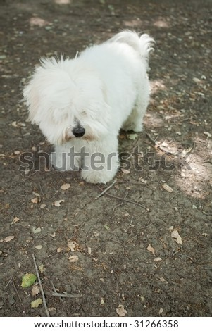 Coton de Tul?ar is a small breed of dog. It is named after the city of Tulear in Madagascar, and for its cottony textured coat