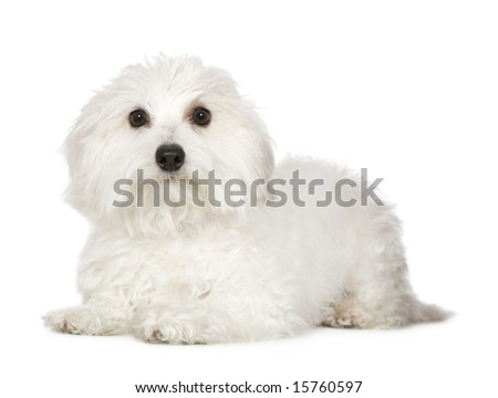 Coton de Tulear (1 year) in front of awhite background