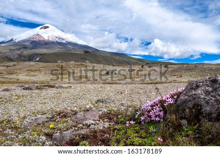 Cotopaxi volcano over the plateau, covered with flowering crocuses. Andean Highlands of Ecuador,  South America - stock photo