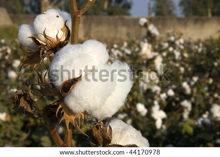 Cotton - stock photo