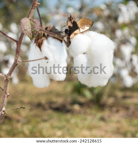Cotton balls on the plant ready to be harvested - stock photo