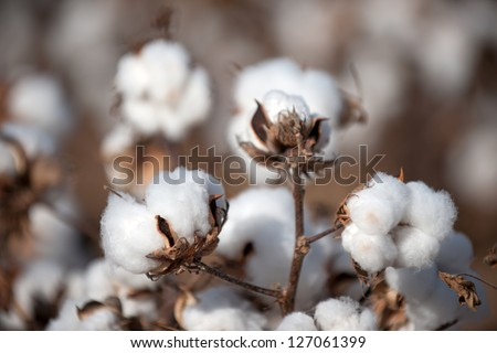 Cotton balls on the plant ready to be harvested, Texas - stock photo