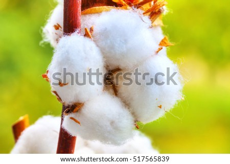Cotton balls on the plant, with greenish background, HDR Image.