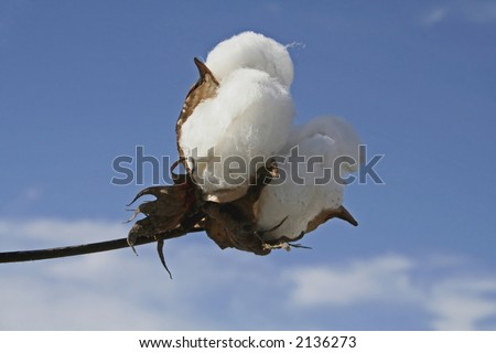 Cotton boll - stock photo