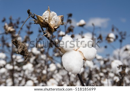 Cotton Bolls Against Blue Sky in Autumn