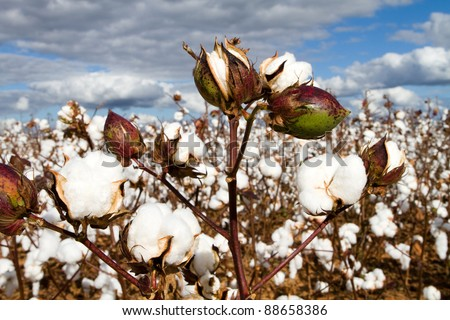 Cotton bolls field ready for harvest. - stock photo