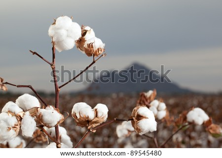 Cotton Bolls in Arizona Cotton Field Ready for Harvest - stock photo