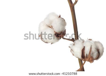 cotton bolls on white background - stock photo