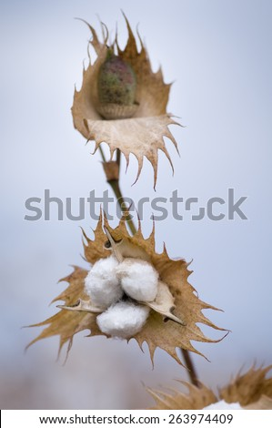 Cotton bolls ready for harvest Cotton is a soft, fluffy staple fiber that grows in a boll around the seeds of the cotton plant.