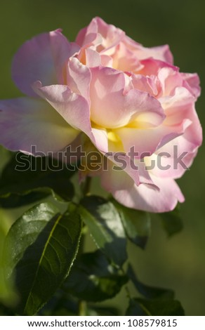 Cotton Candy Pink Climbing Peace Rose/Cotton Candy Pink Peace Rose/Cotton Candy Pink Climbing Peace Rose - stock photo