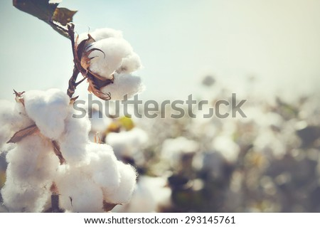 Cotton crop landscape with copy space area - stock photo