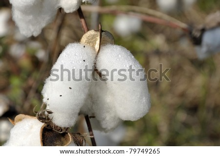 Cotton Day Outdoor Field Plant