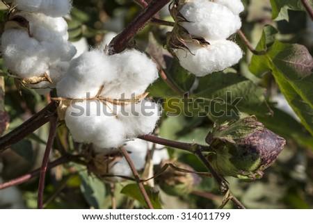 Cotton Field - stock photo