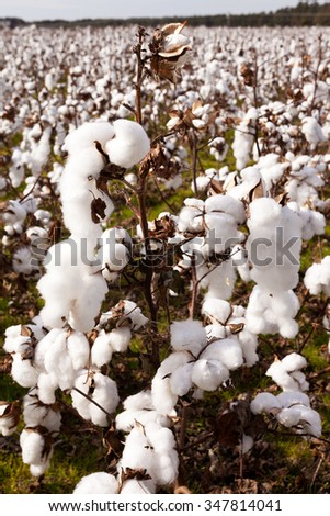 Cotton field agriculture ready to harvest in North Carolina, NC, USA