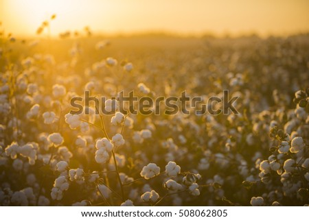 Cotton field background ready for harvest under a golden sunset macro close ups of plants