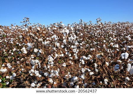 Cotton field in Alabama with blue sky.