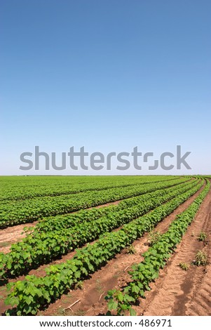 Cotton field near Anson, TX - stock photo